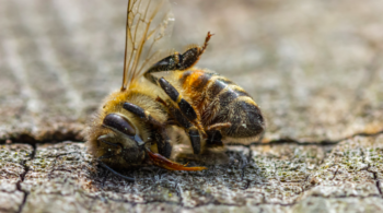 abeille morte lors d'une perte hivernale