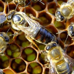 vielle reine d'abeille